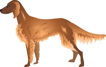 Irish Setter Dog  , Pet Animal - Vector Illustration