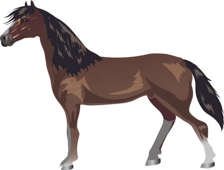 Morgan Horse,   Animal , Draught Stallion Galop - Vector Illustration