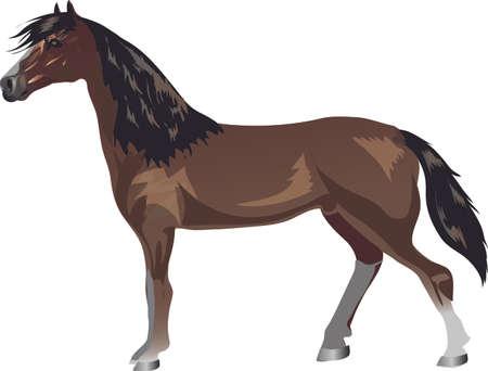 Morgan Horse,   Animal , Draught Stallion Galop - Vector Illustration