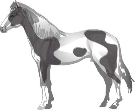 Pinto Horse,   Animal , Draught Stallion Galop - Vector Illustration