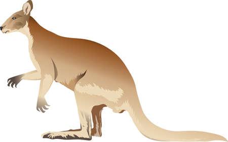 Kangaroo, Wild Marsupial  Animal From Australia - Vector Illustration Illustration