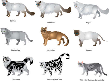 Domestic Cat Set, Angora, Siamese,Himalayan, Russian Blue, American Short Hair, Mainecoon - Vector