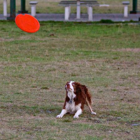 Dog Waiting To Catch Frisbee
