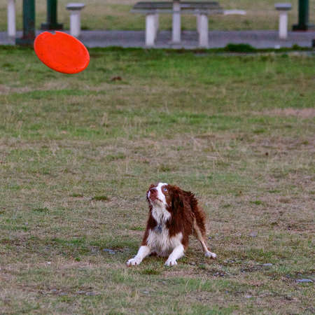 atrapar: Perro que espera para coger el disco volador