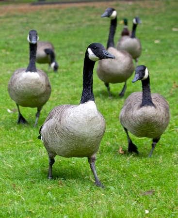 commander: Duck Commander