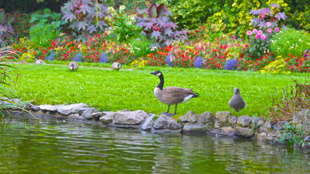 strutting: Geese in the Park, Victoria Canada Stock Photo