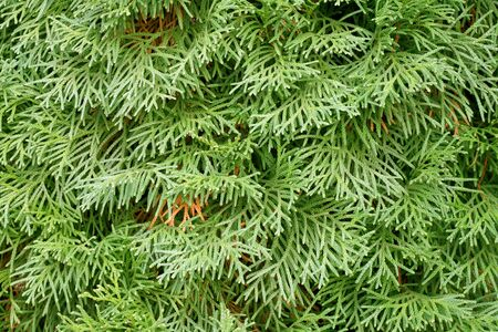 thuja: floral pattern: thuja branches. Stock Photo