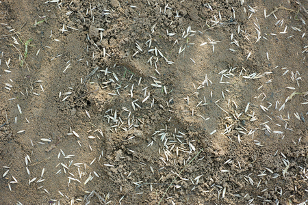 Seeds of lawn grass on cultivated soil. photo