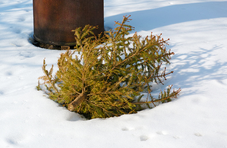 Used Christmas tree in yard for recycling. photo