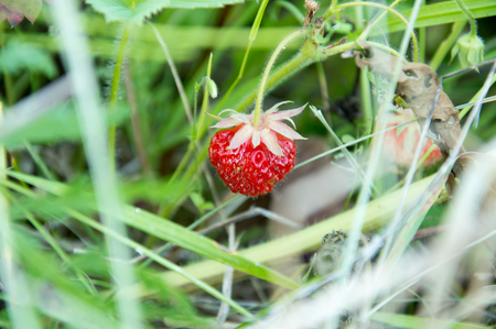 wild strawberry rising on the field in the grass