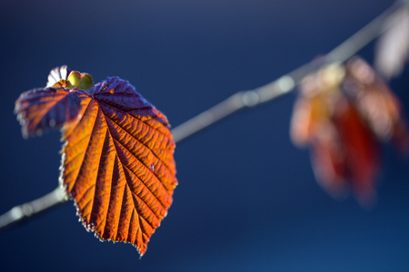 Red leaves of  nut-tree in the sun Stock Photo