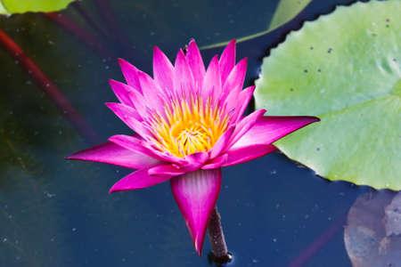 pink lotus Stock Photo - 12433354