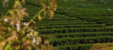 Green Tea Plantation Fields