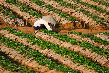 Strawberry Plants field on the Mountain Stock Photo