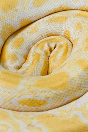 Tiger Albino python snake closeup outdoor