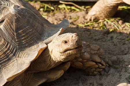 sulcata: Sulcata Tortoise in mini zoo Stock Photo