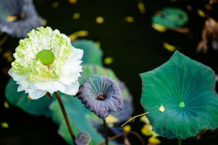 white lotus flower: white lotus flower and Lotus flower plants