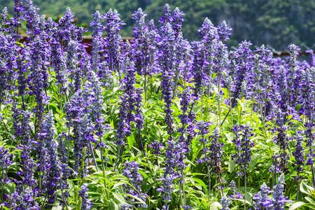 espliego: Flores de la lavanda en el jardín de la lavanda