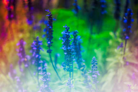 lavender flowers in green darden outdoor Stock Photo
