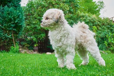 Proud and strong standing maltese shih tzu dog in the garden