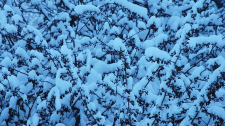 blanketed: Snow-covered twigs in early morning after a snowstorm