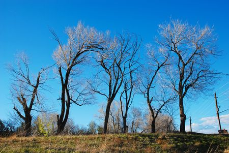 Line of graceful elms stand bare against the sky at the end of the winter photo