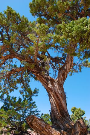 mesas: Old pine tree with twisted trunk grows high on the mesas in Colorado National Monument