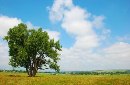 Cottonwood tree stands in a pasture in a rural area Stock Photo - 5180744