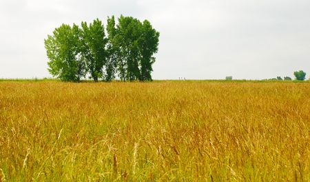 Golden veld en een groep van bomen, met 3 kleine wandelaars op de horizon