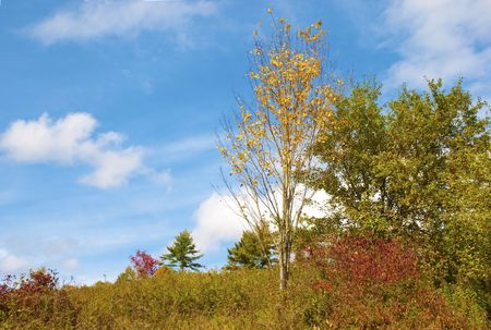 spunky: Bright yellow tree in Autumn has lost half its leaves, against a blue sky