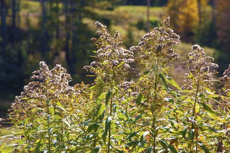 mundane: Weeds that have gone to seed glisten in the sunlight Stock Photo