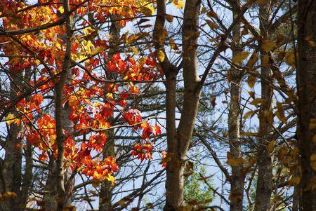 spunk: Hojas rojas brillantes mostrando entre los troncos de �rboles desnudos  Foto de archivo