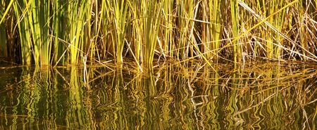 Tangle of reflections and reeds in water Stock Photo