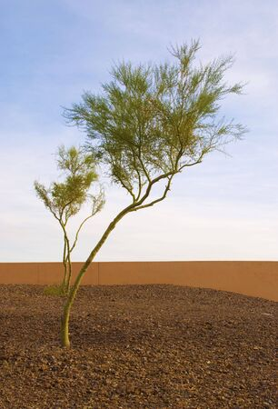 sonora: Lone palo verde tree with a naturally green trunk, in light of sunset