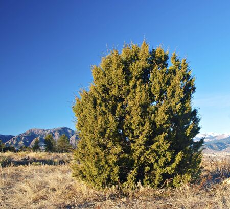 rocky mountain juniper: Round juniper tree or bush in the Colorado foothills