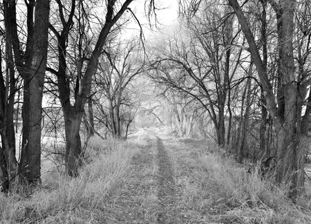 Rural path through bare cottonwood trees in black and white