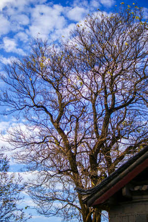 麗江の木 写真素材