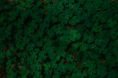 A shaded patch of clovers found in a Scottish forrest