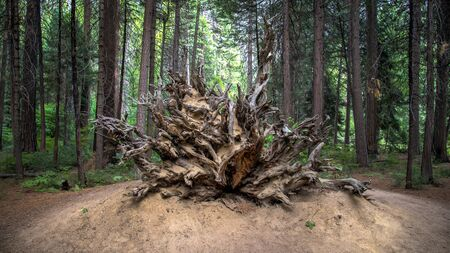 sequoia: SAN FRANCISCO, CA - August 13, 2014:  Roots and trunk of a fallen Sequoia tree, Yosemite National Park, California