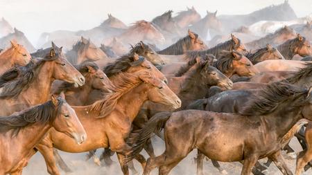 Kayseri, Turkey, August 2017: Horses running gallop n group in dust