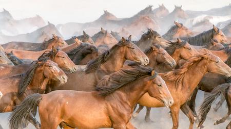 Turkey, August 2017: Horses run gallop in dust