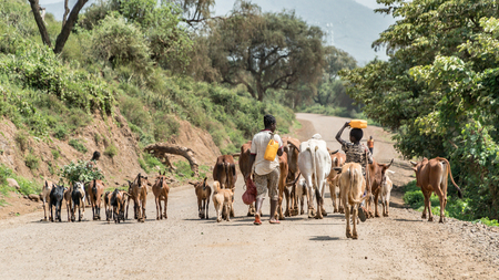 Omo valley, Ethiopia - September 2017: Cows and cattle in the Omo Valley of Ethiopia