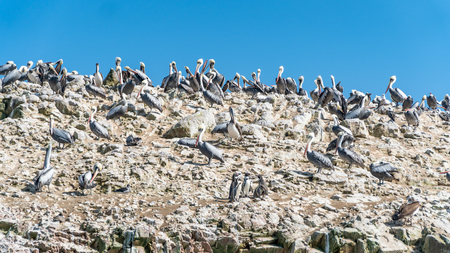 Pelicans in Paracas National Park in Ica, Peru Stock Photo - 91311217