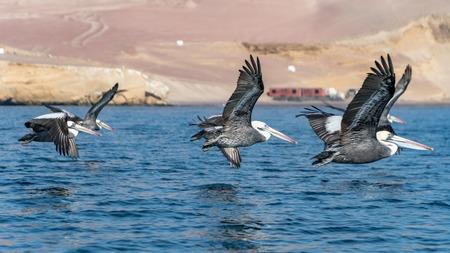 Pelicans in Paracas National Park in Ica, Peru