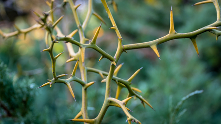 Thorns, or spine, prickle or pricker focus on thorn 版權商用圖片