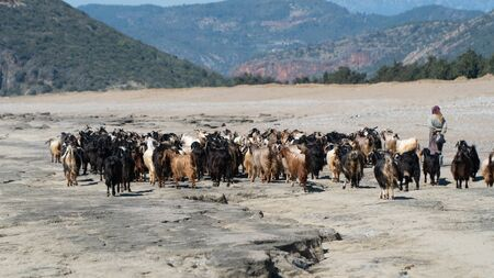 Antalya, Turkey - April 2019: Group of goats walking with the shepherd in the shore Stok Fotoğraf