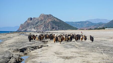 Group of goats walking with the shepherd along the shore, Antalya, Turkey