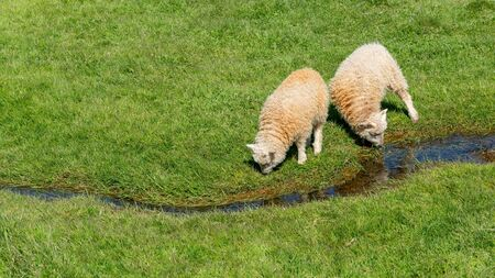 2 young Icelandic sheep drinking water from a small river of water, Iceland