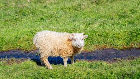 A cute young Icelandic sheep by a small river of water looking at the camera, Iceland