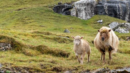 Wildlife in the Faroe Islands. Sheep on Vagar island. Faroe Islands. Denmark. Europe.